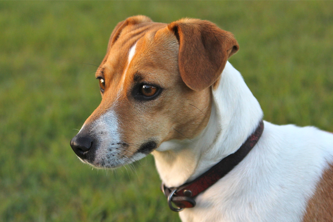 Adult jack russell terrier